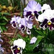 Pansy From The Chalon Supreme Primed Mix Art Print