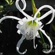 Peruvian Daffodil Named Advance Art Print