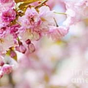 Pink Cherry Blossoms  Art Print by Elena Elisseeva