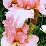 Pink Iris Art Print by Claudette Bujold-Poirier