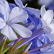 Plumbago Summer Solstice In New Orleans Louisiana Art Print