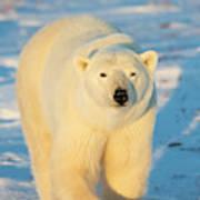 Polar Bear (ursus Maritimus Art Print