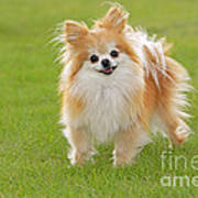 Pomeranian Dog Art Print