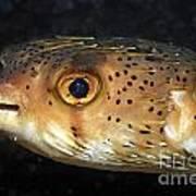 Porcupine Fish Art Print
