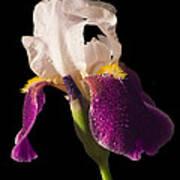 Purple And White Bearded Iris Art Print