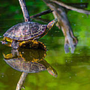 Red-eared Slider Art Print