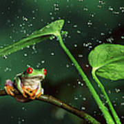 Red-eyed Tree Frog In The Rain Art Print