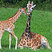 Reticulated Giraffe Calf With Mother Art Print