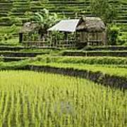 Rice Fields In Bali Indonesia Art Print