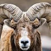 Rocky Mountain Big Horned Sheep Art Print
