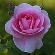 Rose Of Spring Art Print