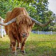 Scottish Highlander Ox Art Print