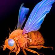 Sem Of A Fly Drosophila Art Print