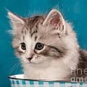 Sibirian Cat Kitten Art Print by Doreen Zorn