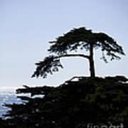 Silhouette Of Monterey Cypress Tree Art Print