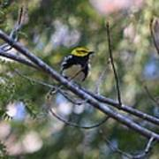 Spring Black-throated Green Warbler Art Print