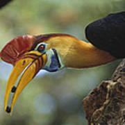 Sulawesi Red-knobbed Hornbill Male Art Print