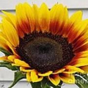 Sunflower Named The Joker Art Print