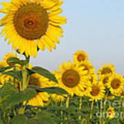 Sunflower Series Art Print