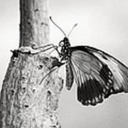 Swallowtail Butterfly Art Print