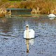 Swan In River In An  English Countryside Scene On A Cold Winter  Art Print