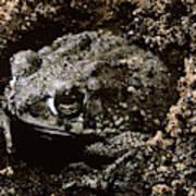 Texas Toad Art Print