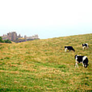 The Cows Of Dunnottar Castle Art Print