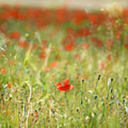 The First Poppy Of The Field Art Print
