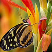 The Postman Butterfly Art Print