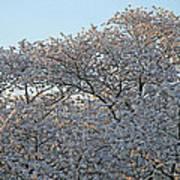The Simple Elegance Of Cherry Blossom Trees Art Print