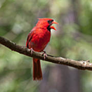 The Singing Cardinal Art Print