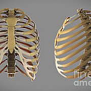 Thoracic Cage Art Print