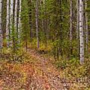 Trail In Golden Aspen Forest Art Print