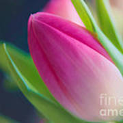 Tulip Art Print by Sylvia  Niklasson
