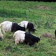 Valais Blackneck Goats Art Print
