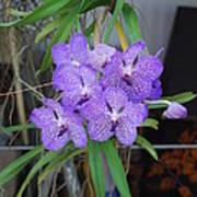 Vanda Orchid Art Print