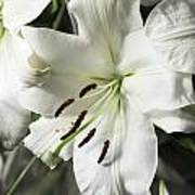 Vase White Lilies With Falling Petals As They Die Art Print