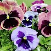 Viola 'coastal Sunrise' Flowers Art Print