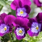 Viola Named Sorbet Plum Velvet Jump-up Art Print