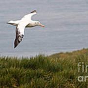 Wandering Albatross Art Print