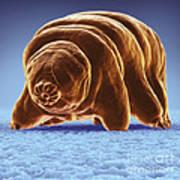 Water Bear Tardigrades Art Print