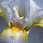 White And Yellow Iris 2 Art Print