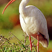White Ibis Eudocimus Albus Art Print