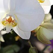 White Orchid Three Art Print