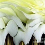 White Rose Polar Coordinates Art Print