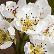 Beautiful White Spring Blossom Art Print