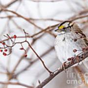 White-throated Sparrow Art Print