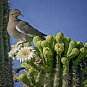 White-winged Dove Atop A Saguaro Art Print