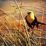 Yellow - Headed Blackbird Art Print