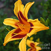 Yellow Tiger Lily Art Print